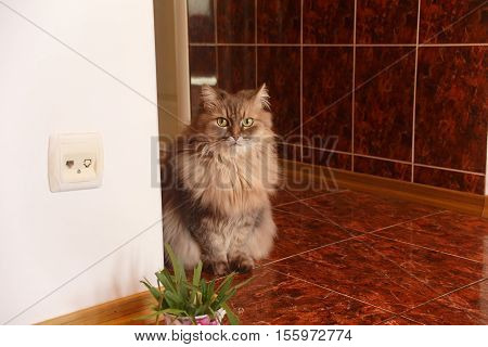 Beautiful fluffy curious adult longhaired grey angora cat sits at the marble tile floor in corridor near the corner with socket at the wall and plant at the foreground. Shallow dof. Focus on cat.
