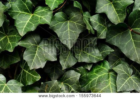 Leafy Green Ivy Vines - Foliage Background