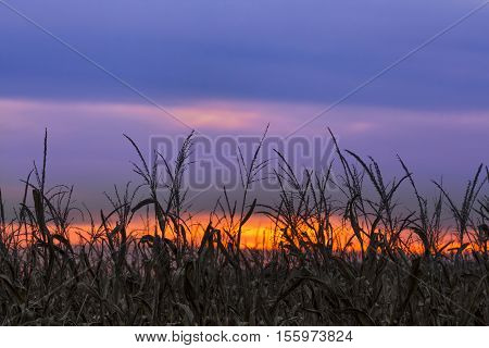 A colorful sunset sky silhouettes a cornfield at autumn harvest time in rural Indiana.