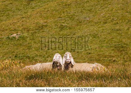 two bergamasca sheep basking on alpine meadow