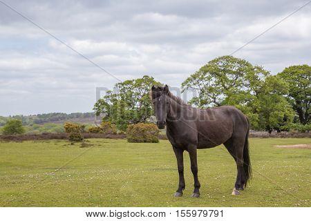 New Forest wild pony standing on the heathland