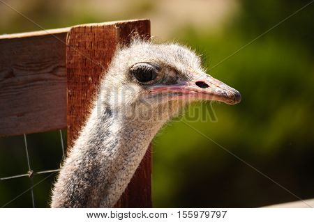 This is a photo of an ostrich.