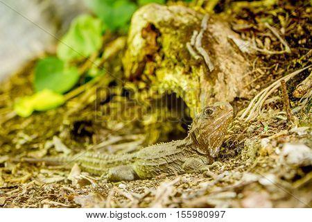 big lizard in natural environment