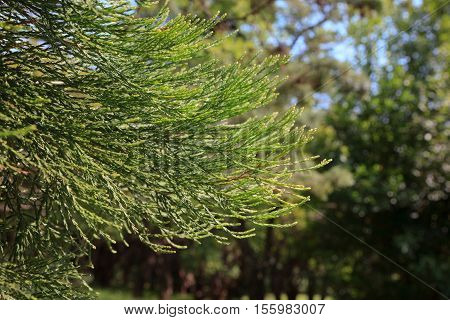 Branches of giant sequoia Sequoia sempervirens commonly called coast redwood
