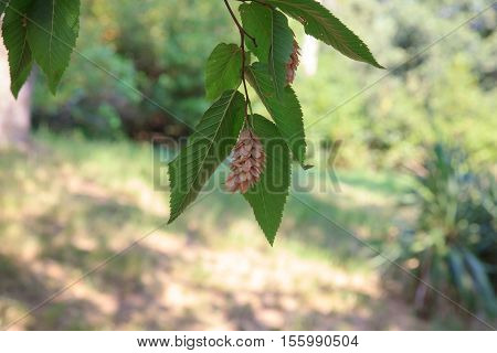 Leaves of the Ostrya carpinifolia the European hop-hornbeam is tree in the family Betulaceae