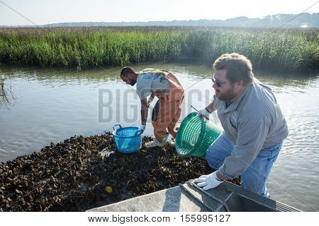 BEAUFORT, SOUTH CAROLINA-MAY 23, 2014: Unidentified fishermen harvest oysters in South Carolina