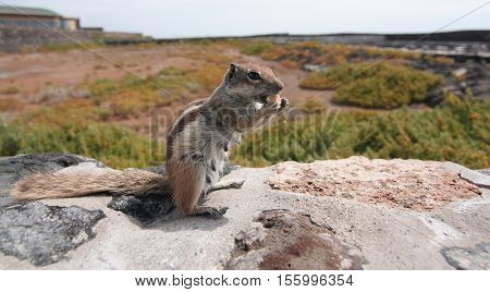 Striped ground squirrel (Xerus erythropus) on the stone wall eating cookie