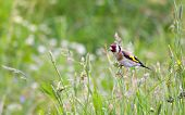 beautiful little bird goldfinch stay at stem of flower. Carduelis carduelis poster