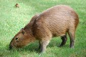 Tame brown capibara quietly grazing green grass poster