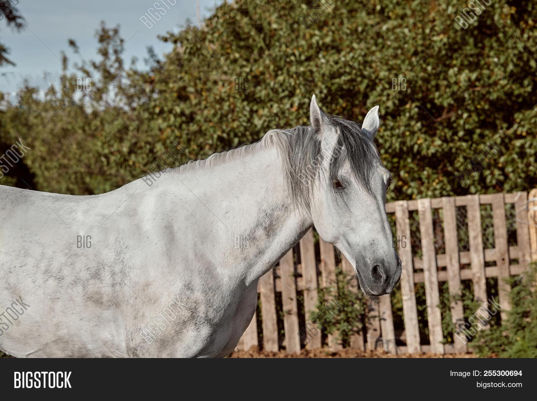 Beautiful Grey Horse Image Photo Free Trial Bigstock