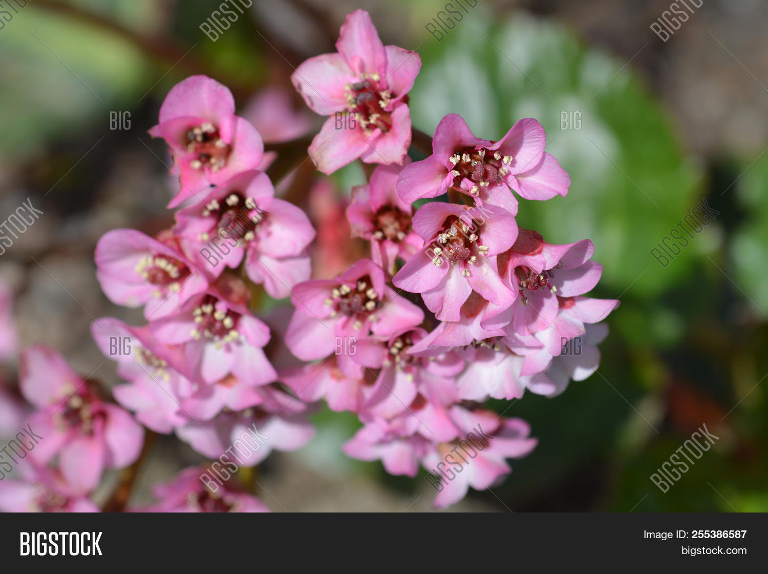 Close bergenia pink image photo free trial bigstock close up of bergenia pink flowers latin name bergenia stracheyi var afganica mightylinksfo