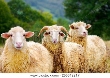 Portrait Of Ram In The Sheep Herd. Leadership In Complicates Relationship Concept. Shallow Depth Of