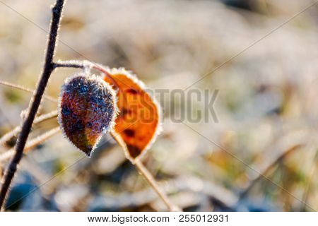 Weathered Leaves In Rime. Beautiful Natural Autumn Background In Morning Light