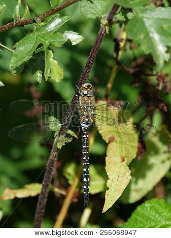 Migrant hawker dragonfly (Aeshna mixta) as seen in summer poster