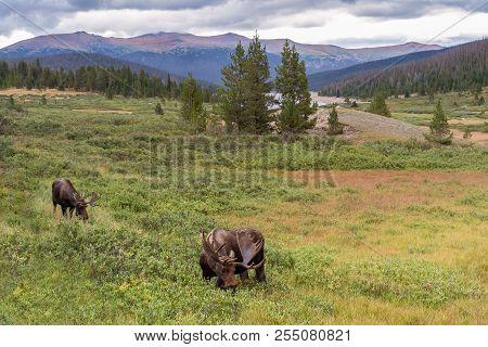 Colorado Rocky Mountains - Shiras Moose In The Wild. The Valley Of The Moose