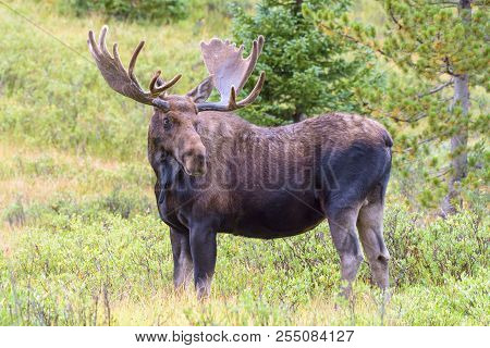 Colorado Rocky Mountains - Shiras Moose In The Wild