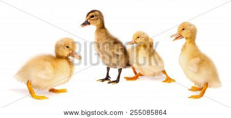 Ducklings Standing In Various Positions - Isolated On White Surface