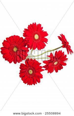 Red gerberas