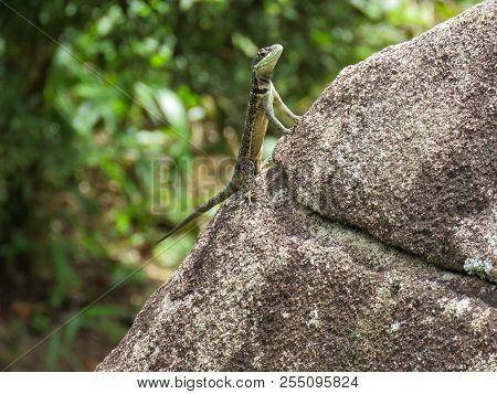 Tropidurus torquatus. Lagarto de ampla distribuiзгo no Brasil. poster