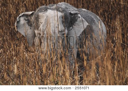 Wild Asian Elephant in elephant grass at Kaziranga National Park Assam India poster