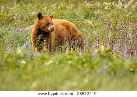 Cinnamon Color Female Bear In Waterton Lakes National Park, Canada