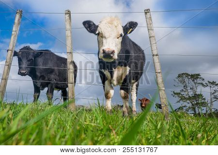 Low Angle Pov Of Grass Fed Beef Cattle On Hillside With Uneven Fence In North Island, New Zealand, N
