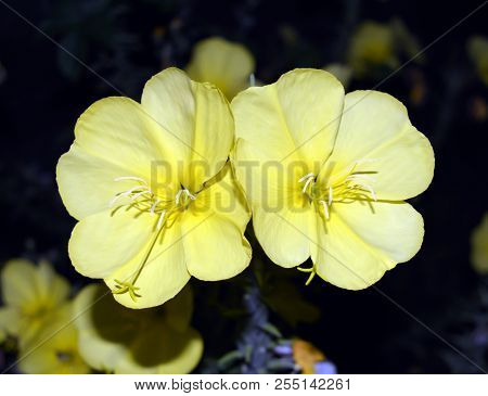 Flower Of Evening Primrose. A Yellow Flower That Blossoms In The Evening And Blossoms The Whole Nigh