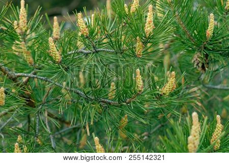 Young green bumps on a pine branches close-up. poster