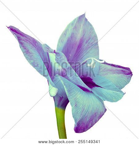 Flower Cyan Purple Gladiolus Isolated On White Background. Flower Bud Close Up. Flower Bud On A Gree