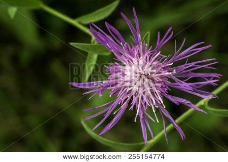 This very tiny flower of the Knapweed is just beautiful poster