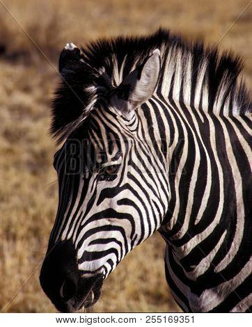 Close-up Portrait Of A Zebra In Hwange National Park - Zimbabwe