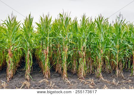 Close-up Of Already Partially Harvested Fodder Maize On A Field. Due To The Prolonged Drought In The
