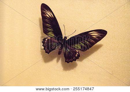 Rajah Brooke's Birdwing Butterfly Trogonoptera Brookiana