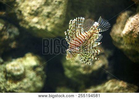 A Beautiful Colored Hawaiian Turkeyfish Also Known As Hawaiian Lionfish Under The Water