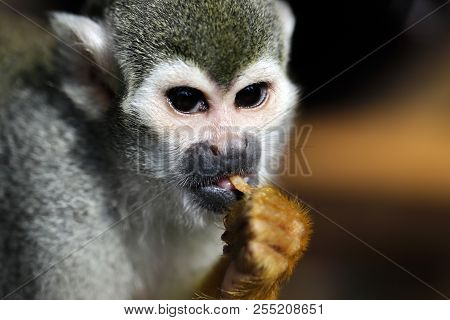 Portrait Of The Common Squirrel New World Monkeys Of The Genus Saimiri. Photography Of Nature And Wi