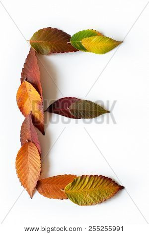 Letter E of colorful autumn leaves. Character E mades of fall foliage. Autumnal design font concept. Seasonal decorative beautiful type mades from multi-colored leaves. Natural autumnal alphabet.
