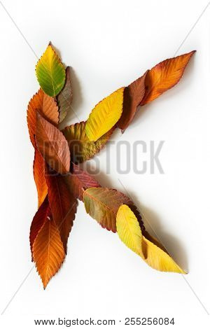 Letter K of colorful autumn leaves. Character K mades of fall foliage. Autumnal design font concept. Seasonal decorative beautiful type mades from multi-colored leaves. Natural autumnal alphabet.