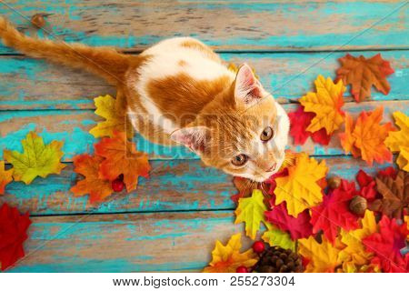 Kitten Look Up And Sitting On Maple Leaves In Autumn.  Domestic Cute Cat In Fall.
