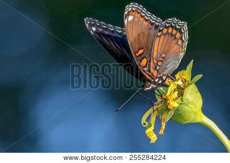 Red-spotted Purple Butterfly, Closeup, Blue, Lime Green Plant, Dark Blue Background