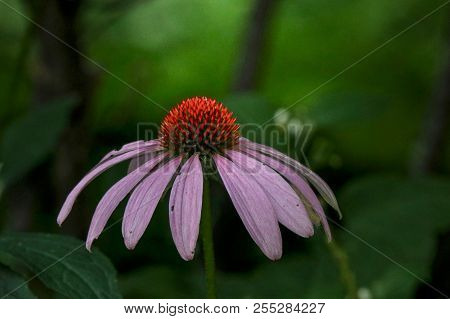 Vibrant Pink And Orange Coneflower In The Spotlight With Green Background, Closeup, Macro, Isolated,