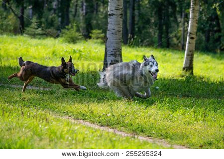 Dogs Play With Each Other. Siberian Husky. Merry Fuss. Aggressive Dog. Training Of Dogs. Education,