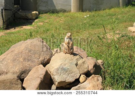A Prairie Dog Standing On A Rock Overlooking His Domain Maybe  Acting As Lookout For The Town.