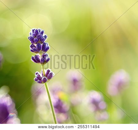 Blossoming Lavender Flower With Morning Dew Closeup . Lavender Field With Sun Beam Background. Bloom