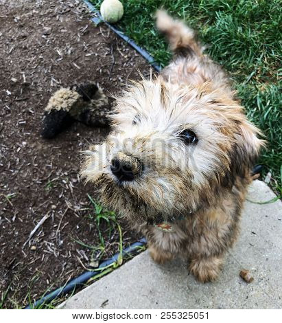 Very Dirty Small Irish Soft Coated Wheaten Terrier Puppy Who Has Been Digging In The Dirt.