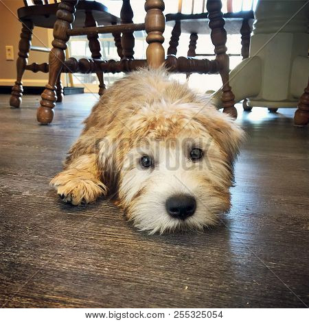 Cute Face Of A Golden Colored Irish Soft Coated Wheaten Terrier Puppy Laying On A Wooden Kitchen Flo