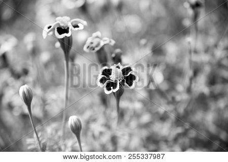 Marigold Blossom On Blurred Natural Background. Marigold Flowers In Summer Garden. Blossoming Flower