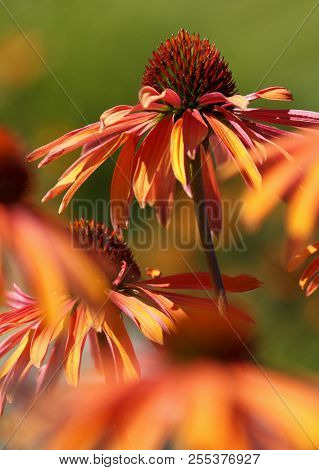 Beautiful Echinacea Flower In A Natural Garden Environment