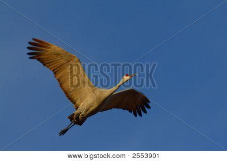 Sandhill Crane On The Wing