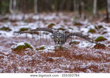 Eurasian eagle-owl (Bubo bubo) is a species of eagle-owl. It is also called the European eagle-owl and in Europe, where it is the only member of its genus besides the snowy owl. poster