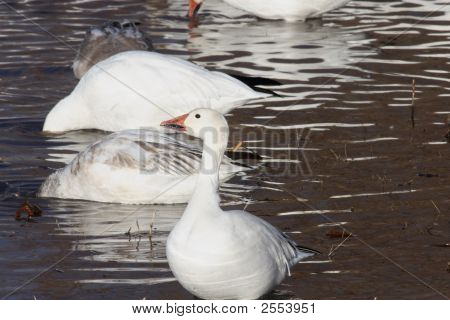 One Snow goose in water at Bosque del Apache Wildlife Refuge poster